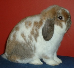 slipped crown, holland lop, rabbit, bunny, cute, tort otter