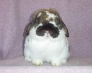 fat faced holland lop massive buck