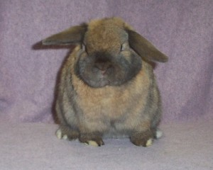 grumpy holland lop rabbit