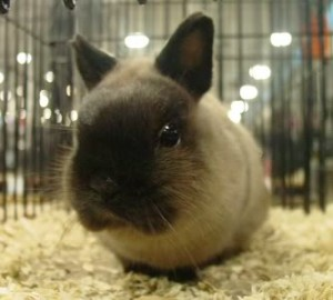 Netherland Dwarf siamese sable tiny cute bunny rabbit, itty bitty