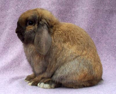grand champion black tort holland lop