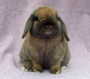 quality holland lop solid senior buck