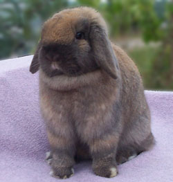 tort holland lop cute facing front