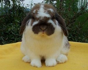 convention winning holland lop