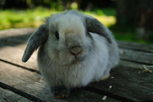 very cute holland lop baby bunny