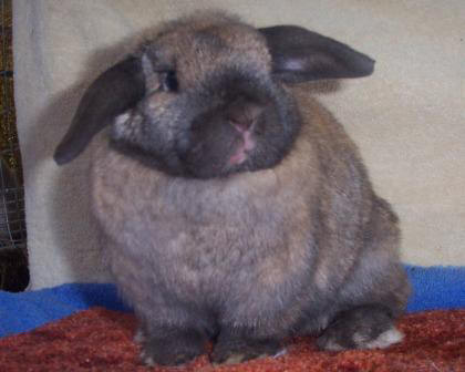 Shocked Holland Lop Rabbit