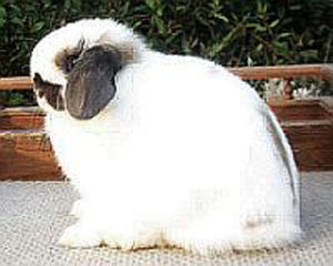 A properly posed Holland Lop showing correct body type