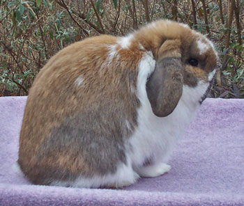 Blanket Pattern Holland Lop Broken