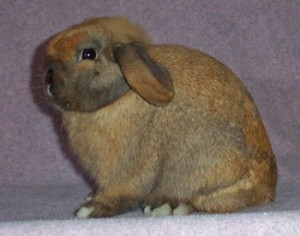 champion holland lop