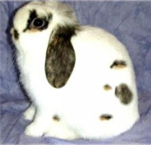 tri colored holland lop rabbit doe ej gene