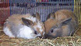 young lop rabbits aren't they cute