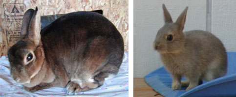 castor and opal mini rex genetics
