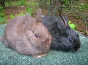 two young rabbits black and chocolate gene