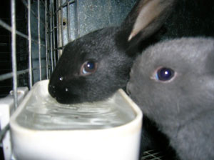baby bunnies drinking from water dish - black and blue