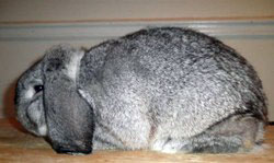 Mini Lop Rabbit Chinchilla Gene