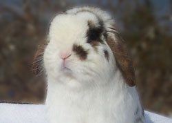 extra cute broken half nose mark holland lop