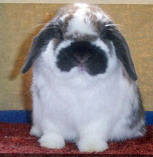 good bone in holland lop rabbits