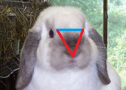 using triangle to measure holland lop head judging