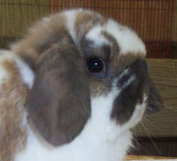 Ideal length and placement of Holland and Fuzzy Lop ears and crowns