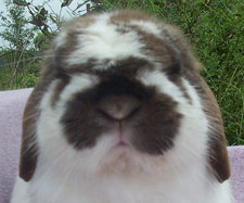 big fat cute really sweet face on a lop eared bunny