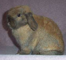 This Holland Lop is Posed Correctly