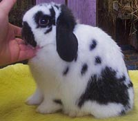 Posing Holland Lop Rabbit For Show