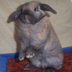 holland lop standing up cute bunny