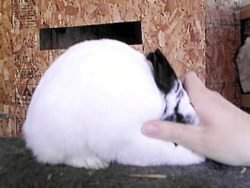 pretty wileys polish rabbit posing with hand over head