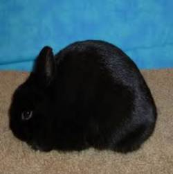 properly posed Polish compact type rabbit