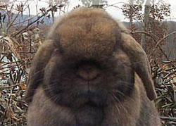 big round massive lop head