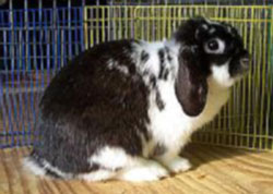 long lop broken black holland