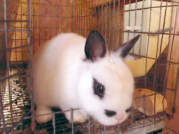 sweet white and black bunny looking out cages