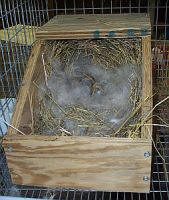 holland lop mother's fur lining nest for babies