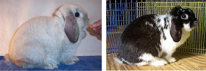 a false dwarf and a true dwarf holland lop compared