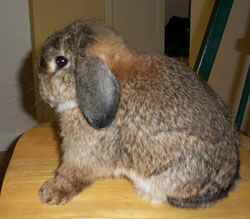 rabbit with chestnut agouti gene - holland lop