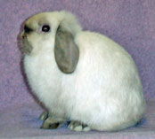 Sable Point Holland Lop Doe Posed