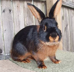 Tan rabbit breed with at gene