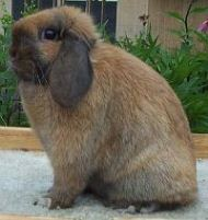 genetically tortoise holland lop rabbit