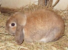 holland lop tort otter or fox - martenized tortoise