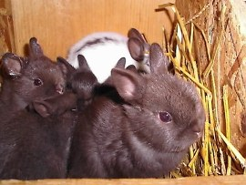 very extra cute baby polish rabbits