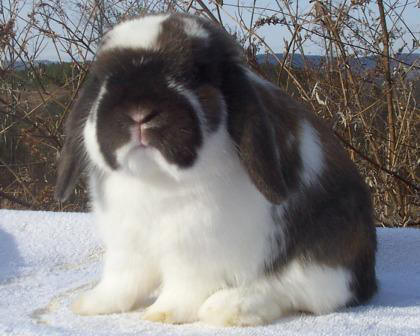 holland lop rabbit bear broken tort show
