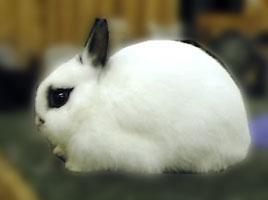 Charlie Polish Rabbit