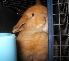 Cute orange american fuzzy lop looking out his cage