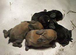 litter of baby rabbits tortoise and black