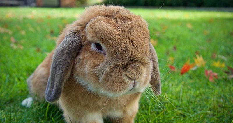Holland Lop Rabbit Breeders With Bunnies For Sale The Nature Trail